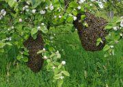 Bienenstaaten